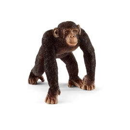 Schimpanse Männchen